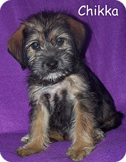 Terrier (Unknown Type, Small) Mix Puppy for adoption in Milford, New Jersey - Chikka