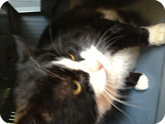 Domestic Shorthair Cat for adoption in Sanford, Maine - Sweetie