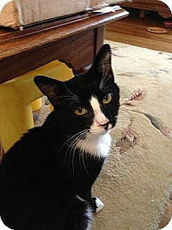 Domestic Shorthair Cat for adoption in New York, New York - Pino