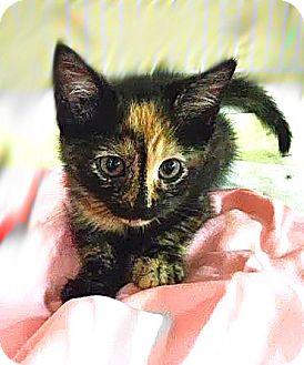 Domestic Shorthair Kitten for adoption in Trevose, Pennsylvania - Lady Gaga