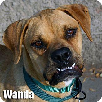 Boxer/Labrador Retriever Mix Puppy for adoption in Encino, California - Wanda