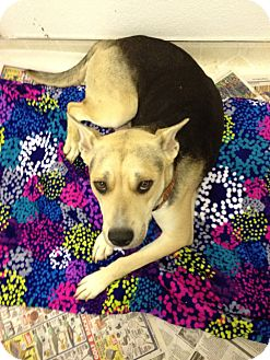 Australian Shepherd/Labrador Retriever Mix Dog for adoption in Studio City, California - MAGGIE
