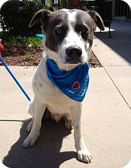 Australian Shepherd Mix Dog for adoption in Olive Branch, Mississippi - Dundee-Recovers!