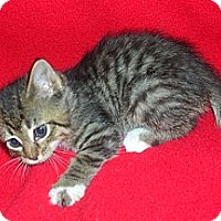 Adopt A Pet :: Rez Kitten #6 - Yakima, WA