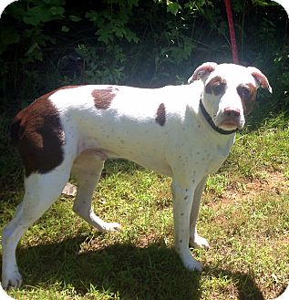 Pointer/American Pit Bull Terrier Mix Dog for adoption in Bloomfield, Connecticut - Tango