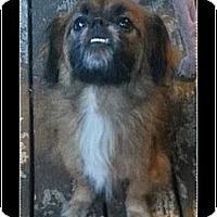 Adopt A Pet :: Bluto - Tyler, TX