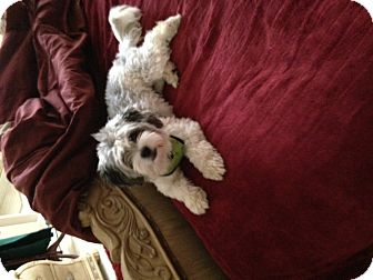 Poodle (Miniature)/Havanese Mix Dog for adoption in Beverly Hills, California - Katy Perry