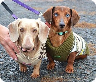 Dachshund Dog for adoption in Westport, Connecticut - *Ryder & Winnie - PENDING