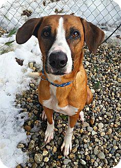 Labrador Retriever/Beagle Mix Dog for adoption in Freeport, Maine - Natsu *Great Family Dog!*