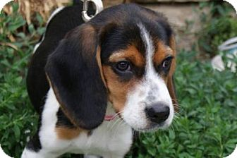 Beagle Puppy for adoption in Parkville, Missouri - Libby