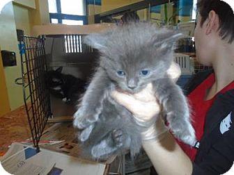 Domestic Shorthair Kitten for adoption in THORNHILL, Ontario - Stevie