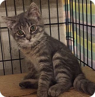 Domestic Shorthair Kitten for adoption in Ortonville, Michigan - Ashes