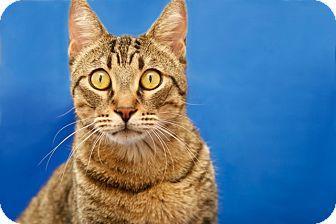 Domestic Shorthair Cat for adoption in Coronado, California - Leo