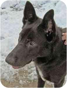 Shepherd (Unknown Type) Mix Dog for adoption in Warren, Pennsylvania - Darth