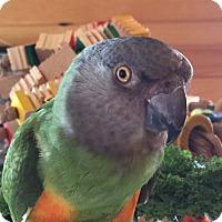 Adopt A Pet :: Flash - Asheville, NC