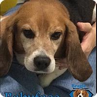 Adopt A Pet :: Babyface - Yardley, PA