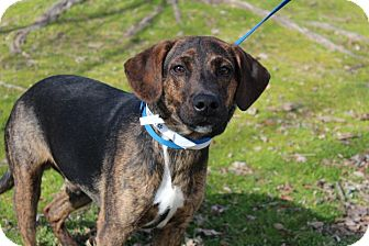 Labrador Retriever/Hound (Unknown Type) Mix Dog for adoption in Conway, Arkansas - PJ
