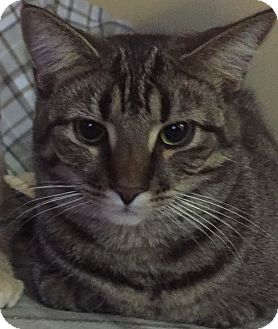 Domestic Shorthair Cat for adoption in Greensburg, Pennsylvania - Tommy