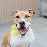 American Pit Bull Terrier Mix Dog for adoption in Manhattan, New York - Foxy