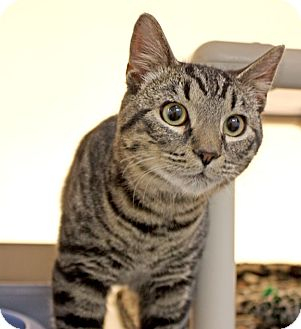 Domestic Shorthair Kitten for adoption in Harrisonburg, Virginia - Thor