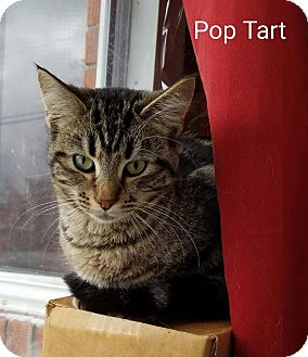 Domestic Shorthair Cat for adoption in Irwin, Pennsylvania - Pop Tart