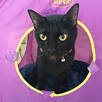 Domestic Shorthair Cat for adoption in Hollywood, Florida - leliana