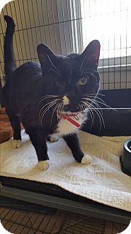 Domestic Shorthair Cat for adoption in Middletown, New York - Peta