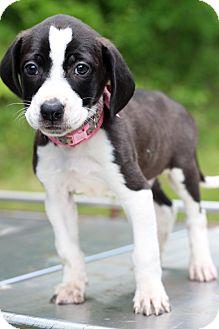 Pointer Mix Puppy for adoption in Waldorf, Maryland - Venus