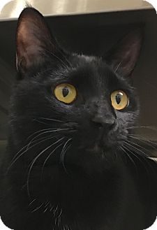 Domestic Shorthair Cat for adoption in Buhl, Idaho - Midnite