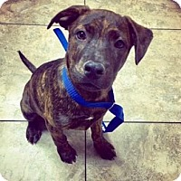 Adopt A Pet :: Ringo - Gilbert, AZ