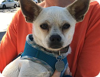 Chihuahua Mix Dog for adoption in Pleasanton, California - Harry