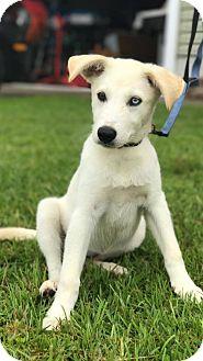Husky/Labrador Retriever Mix Puppy for adoption in Halethorpe, Maryland - Sophie - ADOPTION PENDING - CONGRATS NATE!