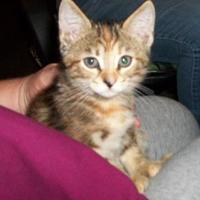 Domestic Shorthair/Domestic Shorthair Mix Cat for adoption in Clinton, Missouri - Keely