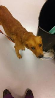 Retriever (Unknown Type) Mix Dog for adoption in Savannah, Tennessee - Hayes