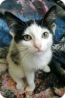 Manx Kitten for adoption in Knoxville, Tennessee - Banksy
