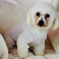 Bichon Frise Dog for adoption in Pueblo, Colorado - Chava