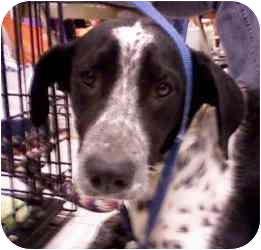 German Shorthaired Pointer Mix Dog for adoption in Newington, Connecticut - Domino