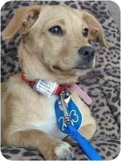 Terrier (Unknown Type, Medium)/Dachshund Mix Puppy for adoption in Vista, California - Missy