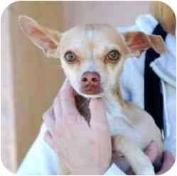 Chihuahua Dog for adoption in Berkeley, California - Rudolph