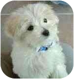 Maltese/Poodle (Miniature) Mix Puppy for adoption in Las Vegas, Nevada - JILL