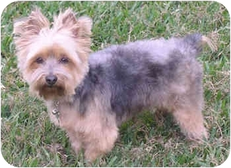 Yorkie, Yorkshire Terrier Dog for adoption in Statewide and National, Texas - Johnny - TX