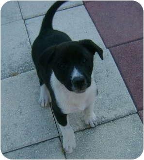 Border Collie/Labrador Retriever Mix Puppy for adoption in Callahan, Florida - Digacamo