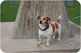 Jack Russell Terrier Dog for adoption in North Judson, Indiana - Pete