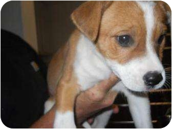 Labrador Retriever/Shepherd (Unknown Type) Mix Puppy for adoption in Edwardsville, Illinois - Penny