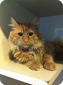Domestic Longhair Cat for adoption in Pittstown, New Jersey - Max