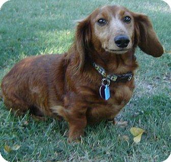 Dachshund Dog for adoption in Edmond, Oklahoma - Shaggy