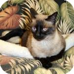 Siamese Cat for adoption in Patterson, California - Lewis