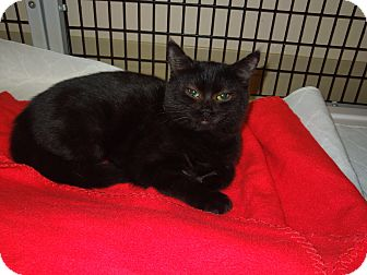 Domestic Shorthair Cat for adoption in Medina, Ohio - Ellie May