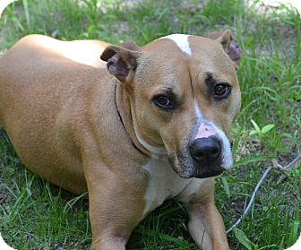 American Pit Bull Terrier Mix Dog for adoption in New York, New York - Kayla **URGENT**