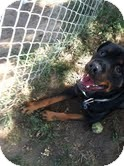 Rottweiler Mix Dog for adoption in Council Bluffs, Iowa - Max
